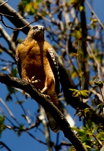 The riparian habitat is favored by the Red-shouldered Hawk. Photo by Robert Woodward.