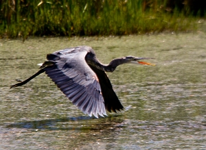 Great Blue Heron in flight. Photo by Robert Woodward.