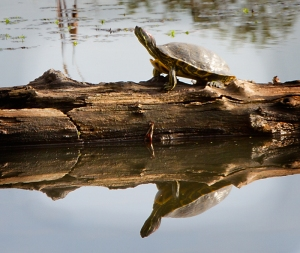The Ponds are great habitat for the Western Pond Turtle, a California Species of Special Concern. Photo by Robert Woodward.