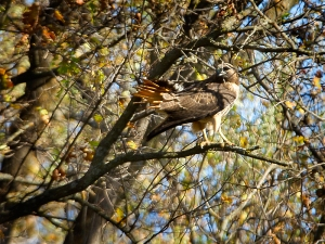 Red-tailed Hawk. Photo by Robert Woodward.