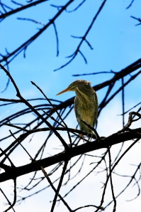 Green Herons are a common sight on the Ponds. Photo by Robert Woodward.
