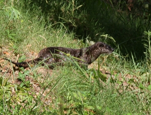 Norther River Otters are occasional visitors to the Ponds. Photo by Robert Woodward.