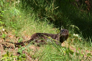 Northern River Otters are occasional visitors to the Ponds. Photo by Robert Woodward.