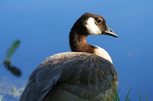 Canada Geese are year-round residents of the Ponds. Photo by Robert Woodward.