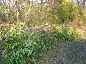 Pile of large privet trees that were removed to prevent further environmental damage to the area.